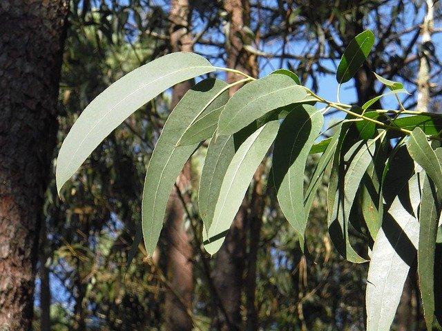 オーストラリア ユーカリの葉